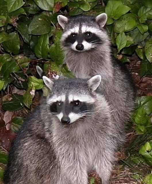 Once Upon a Time: A Raccoon Love Story...or tragedy